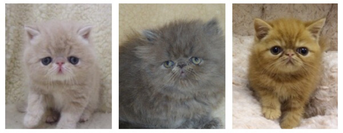 Persian and Exotic kittens Available